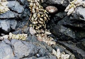 食べられる貝